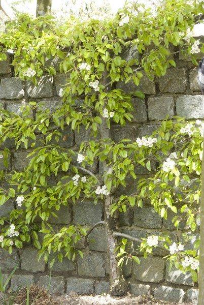Kleine tuin? Heel wat fruitbomen – zoals appel en peer - groeien mooi als leiboom tegen muren en schuttingen.