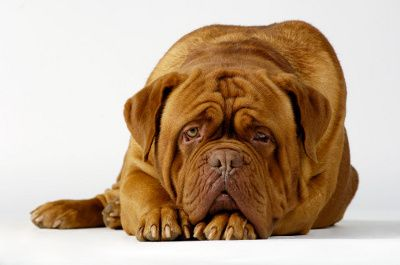 To keep your Mastiff's facial wrinkles clean and infection