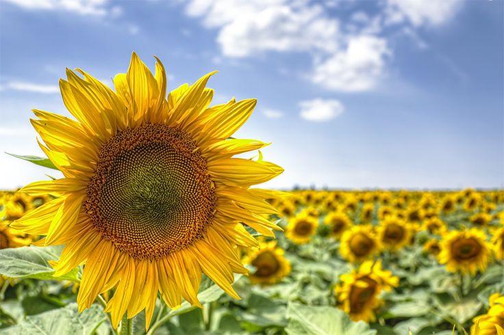 Just a single sunflower amongst many