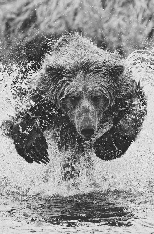 """Charging Bear"" – Brooks Falls, Alaska. Photo by Charles Glatzer, 2012. Pin is now linked to the original photo in colour."
