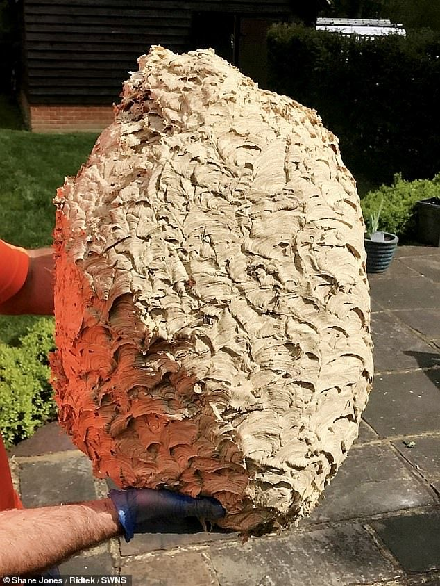 Pest Control Expert Finds Nest That Is Home To 20 000 Wasps Pest Control Organic Gardening Garden Guide