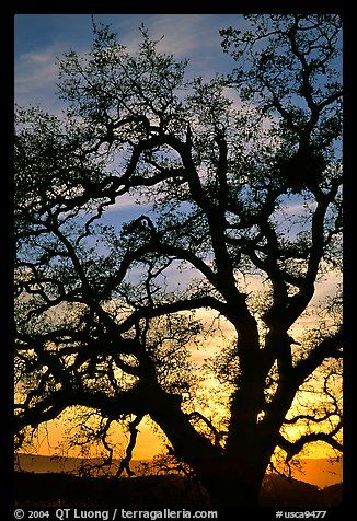 Picture/Photo: Old Oak tree silhouette at sunset, Joseph Grant County Park. San Jose, California, USA