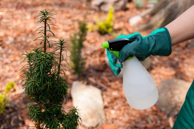 ***¿Cómo hacer un Insecticida Natural?*** Te enseñamos una receta fácil para hacer tu propio insecticida orgánico que te ayudará a ahuyentar todas esas pequeñas amenazas de tu jardín......SIGUE LEYENDO EN..... http://comohacerpara.com/hacer-un-insecticida-natural_12882h.html