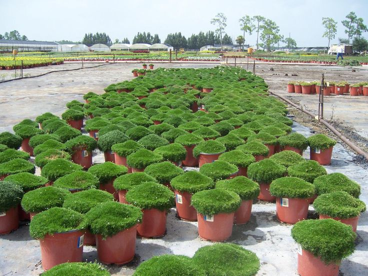 Landscaping With Irish Moss : Irish moss for sale the grand human experiment