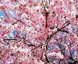 春の桜ショット&私のお花見弁当【PR】
