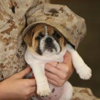 Even our dogs support our Military: Bulldogs Puppies, Devil Dogs, Best Friends, Parris Islands, Pet, English Bulldogs, Little Dogs, Animal, Marines Corps