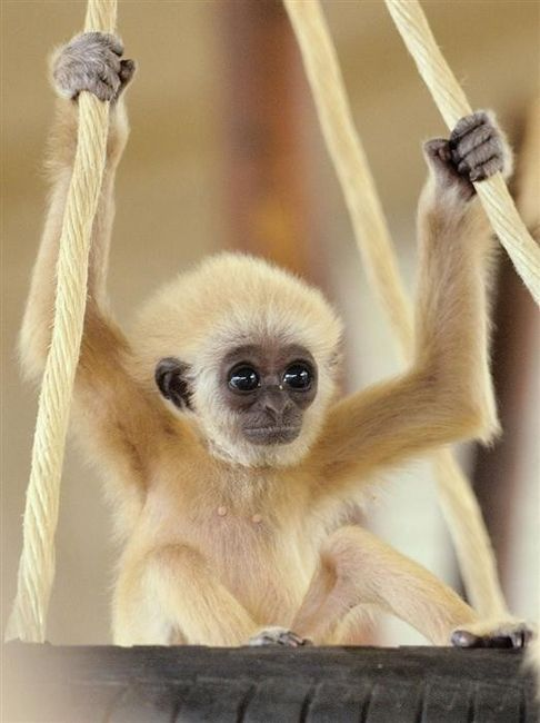 brown-eyed blonde monkeyCute Animal, Swings, Pets, Baby Gibbons, Baby Animal, Baby Monkeys, Big Eye,  Hylob Lars, Babymonkeys
