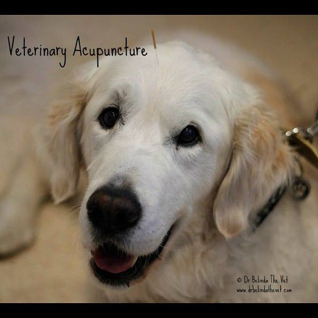 Meet Zac. He is one of my gorgeous acupuncture patients. He receives acupuncture for his arthritis. #dog #dogsofinstagram #acupuncture #veterinaryacupuncture #petacupuncture #drbelindathevet #vettips