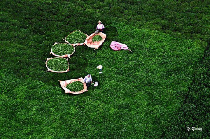 Rize Kalkandere'de çay hasadı...  Fotoğraf: Yüksel Yavuz