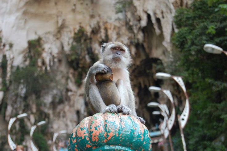 Affection without any limitations- malay mother monkey&son