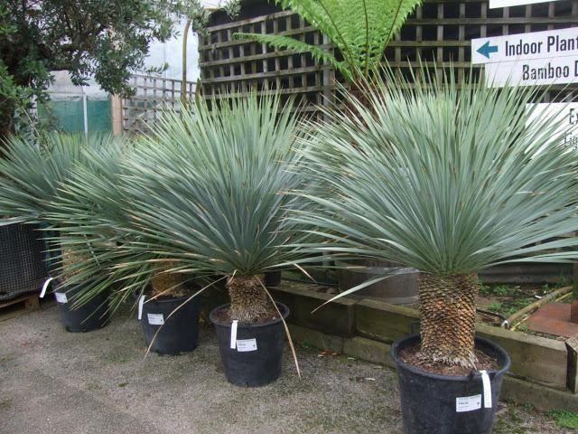 Les 61 meilleures images du tableau palmier sur pinterest for Bouture yucca exterieur