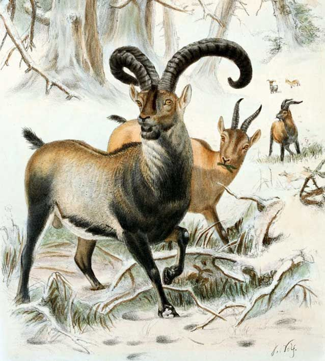 The Pyrenean ibex is one of two extinct subspecies of the Spanish ibex. The species was once numerous and roamed across France and Spain,