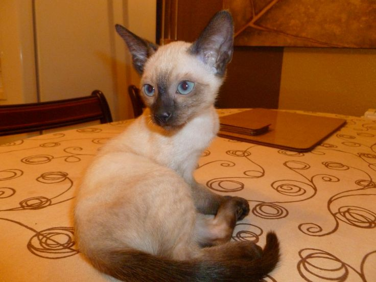 Adorable Seal Point Siamese Kittens For Sale (With images