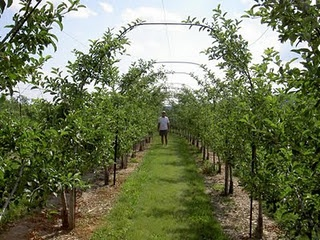 An allée would be so nice.Apples Trees, Espalier Trees, Apples Arches, Bridges Landscapes, Apples Espalier, Infants Espalier, Gardens Landscapes, Farms Landscapes, Espalier Apples