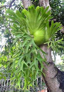Siam Exotica Plantas de Platycerium coronarium
