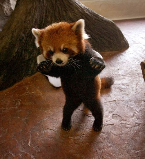 baby red panda... ready to pounce! ;)