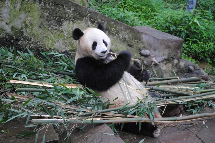 Een pandabeer in Chengdu