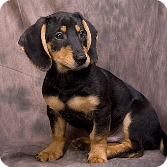Black Beagle Dachshund Mix