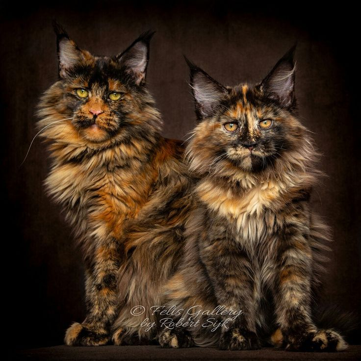 Pin On Longhaired Cats