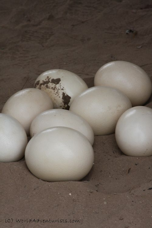 Ostrich - South Africa