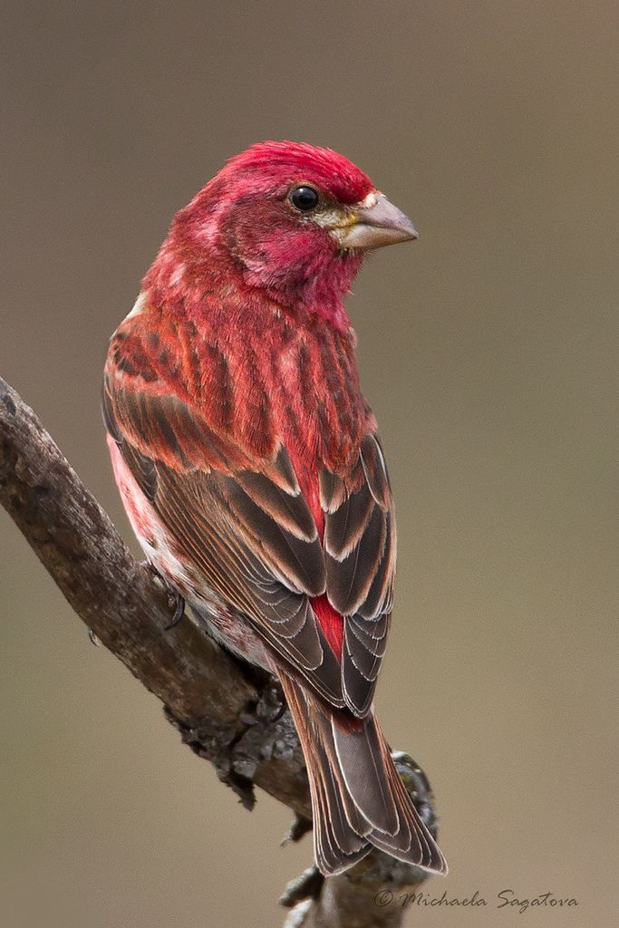 Purple Finch is the state Bird of NH but I literally had never seen one until they appeared at our feeder this spring.