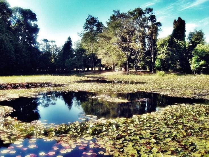 Nunca  olvidaré  tan bello paisaje con las flores  del  loto en el parque Saval en Valvivia