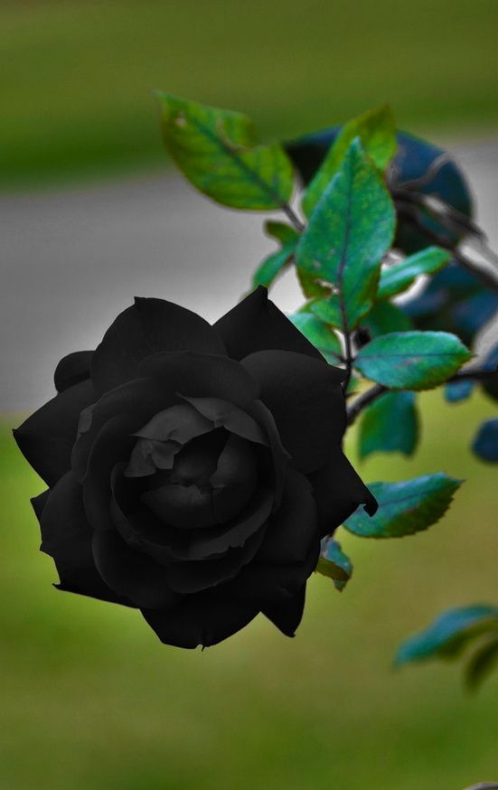 Natural Black Rose ~ the Black Rose grows only in Halfeti, Turkey. Black roses are incredibly rare. Although they appear black they are actually a very deep crimson color.