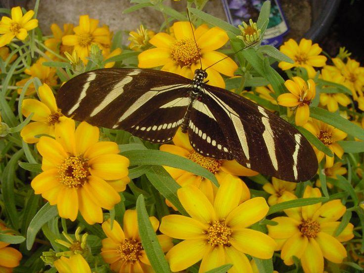 Zinnia - Zebra Longwing Butterfly