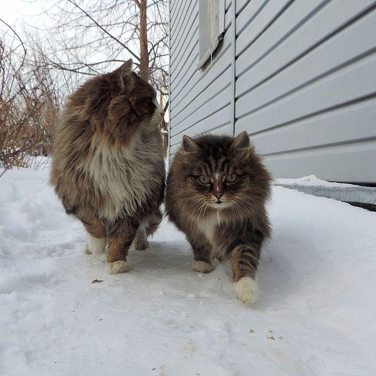 137 best I love my Siberian cat images on Pinterest ...