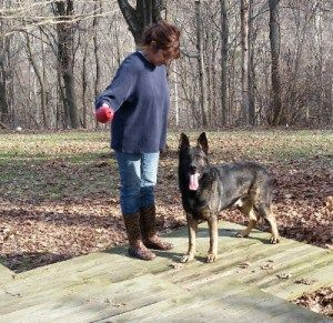 """Max is a DDR German Shepherd dog. He is a large beautiful black sable male and my foundation stud. He will work all day for you and yet when brought into the house, he settles like a """"basset hound"""". He weighs around 110+, but don't let that fool ya… he thinks he is a """"small"""" dog in a """"big"""" dog body. Max would like nothing more than to lay in your lap or on the couch with you and watch tv."""