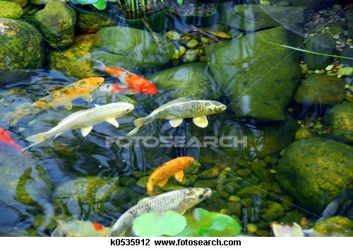 17 best images about koi fish outdoor ponds on for Popular pond fish