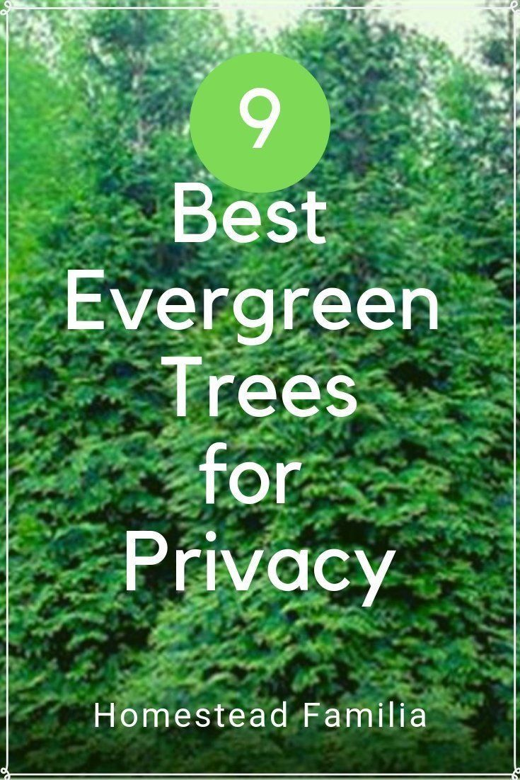 Best Evergreen Trees For Privacy Homestead Familia