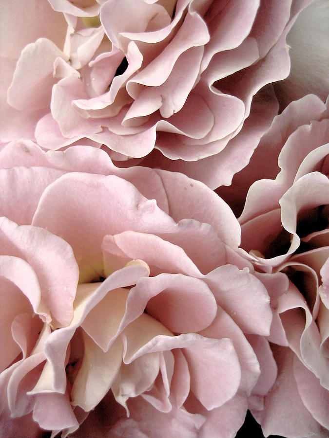 ✯ Pink Roses