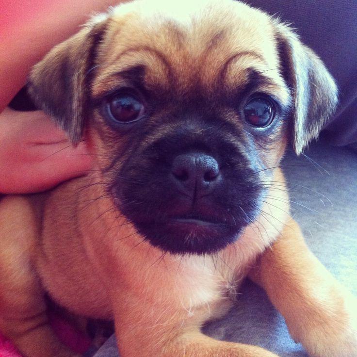 My beautiful jug puppy!