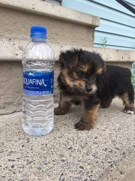 Yorkshire Terrier Puppy For Sale In Syracuse Ny Usa Adn 82856 On