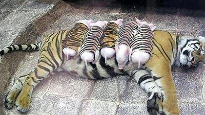 Tigresa adota porquinhos órfãos.