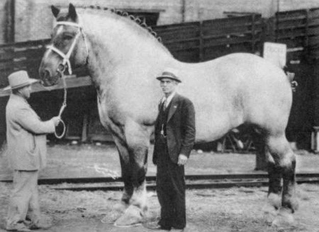 1928-1948: Brookie, the largest horse ever recorded was a Belgian Draft named Brooklyn Supreme, who weighed 3,200 lbs and stood at 19.2 hands. He wore a 40-inch collar and boasted a girth measurement of 10 feet, 2 inches around. It took 30 inches of iron for each of his horseshoes.