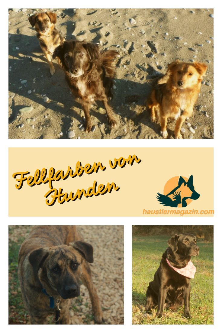 Fellfarben Hund Bezeichnung Bedeutung Vererbung Haustiermagazin Hunde Hunde Welpen Hundchen Training