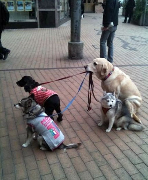 This golden retriever was spotted babysitting three other dogs outside a store in Hong Kong. The well trained pooch sat outside the shop while its owner browsed, holding onto the leads of three other dogs. The Telegraph.