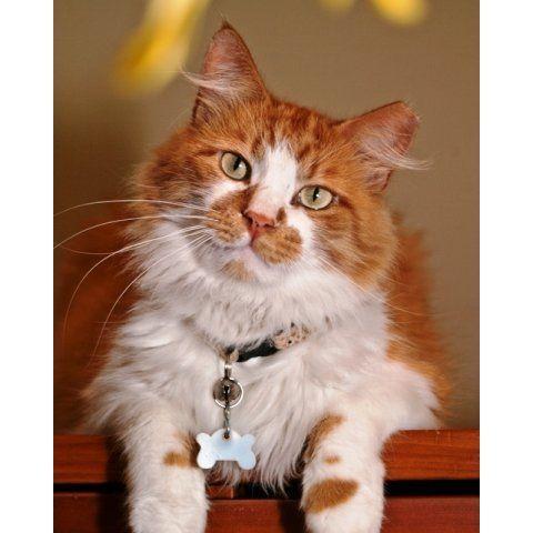 medium hair cat breeds
