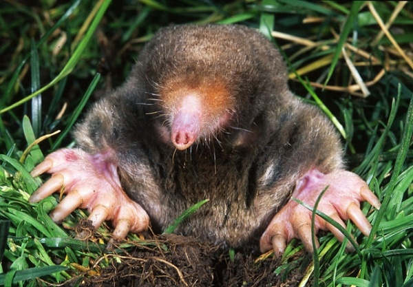 According to new research, there are indications that moles can smell in stereo, which allows the mole to find its prey via smell.