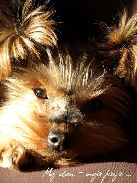 dog, yorkshire terrier, puppy