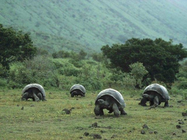 Galapagos got its name from these Giant Tortoises inhabiting the islands.