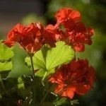 Geranium Care - How To Grow Geraniums