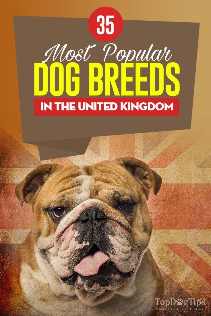 35 Most Popular Breeds In The United Kingdom Popular Dog Breeds