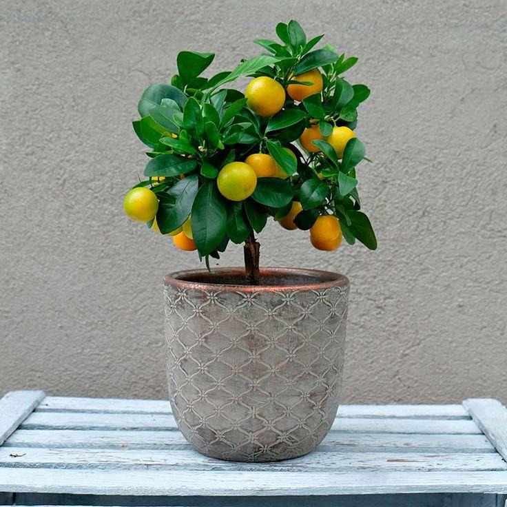 Envía a domicilio un naranjo en miniatura. Presentado con una maceta, ideal para aportar una dosis de color a la decoración de tu hogar. Oranges, small orange tree