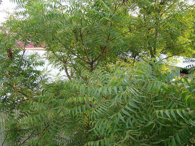 Neem Trees Nitrogen fixing trees for FL.