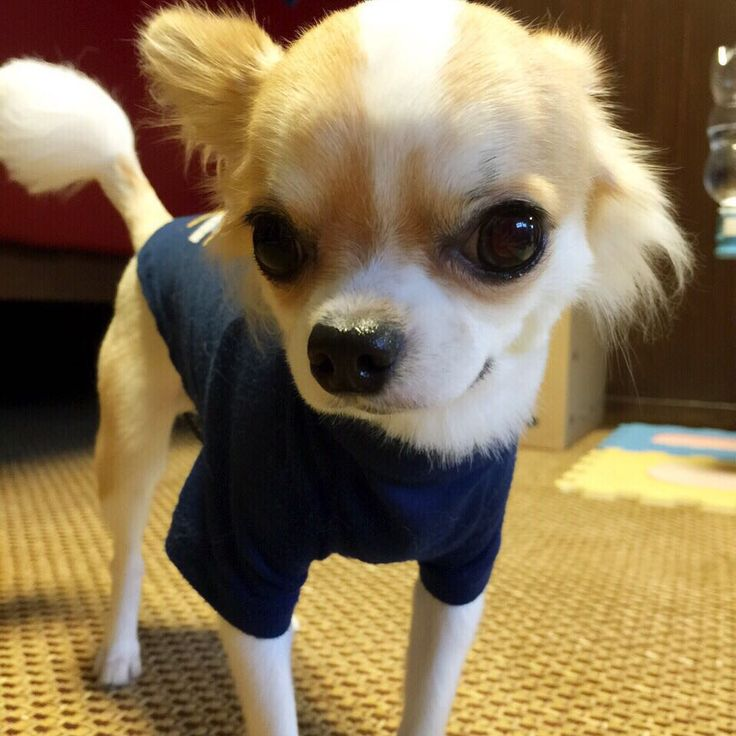 6 Problems Only Chihuahua Owners Will Understand