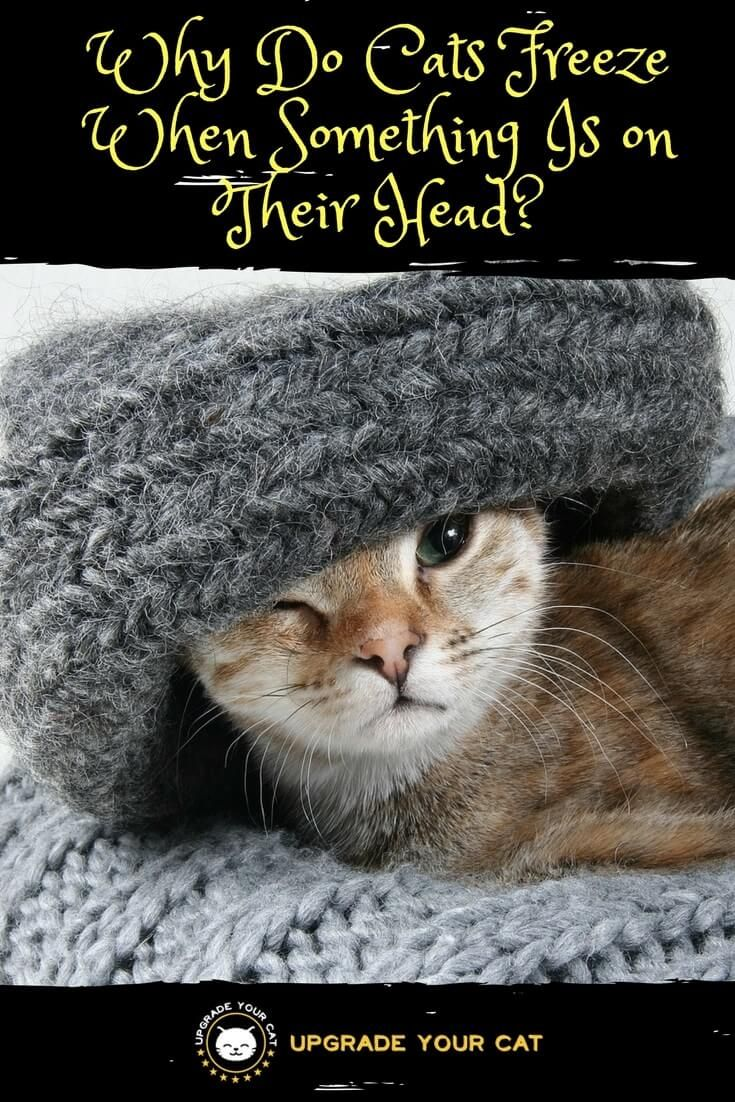 Why Do Cats Freeze When Something Is On Their Head Upgradeyourcat Catthings Catbehavior Cat Behavior Cats Cute Cat Gif