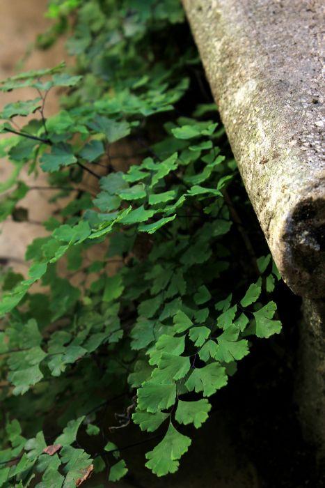 Capelvenere (Adiantum capillus-veneris) #woodland